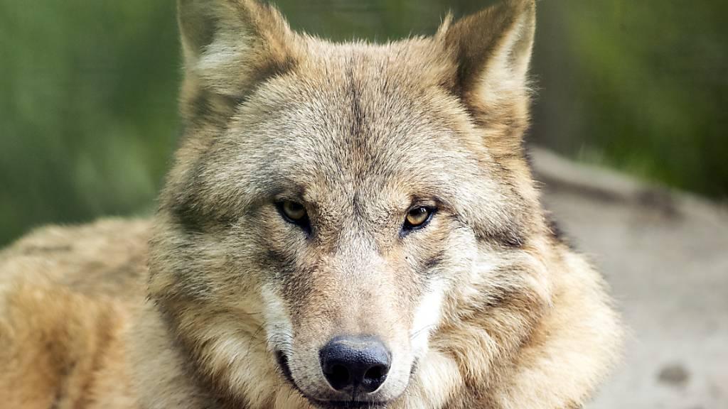 36 Nutztiere gerissen - Berner Wölfin soll abgeschossen werden