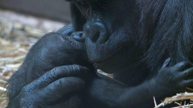 Älteste Gorilla-Dame tot: Zoo Zürich schläfert 41-jährige Mamitu ein