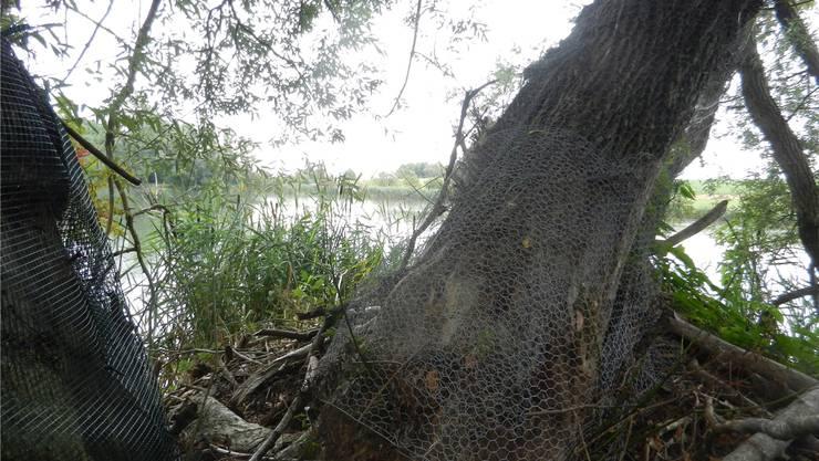 Zum Schutz vor den Zähnen der beiden Biber-Familien mussten auch die grossen Bäume mit Drahtgeflecht umgeben werden.rm