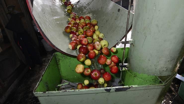 Fürs Mosten sollten die Früchte reif, frisch und sauber sein.