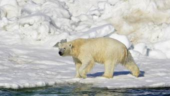 Ein Eisbär in Alaska trocknet in der Sonne nach einem Bad. Die Tiere sind wegen der Klimaerwärmung vom Aussterben bedroht. (Archiv)