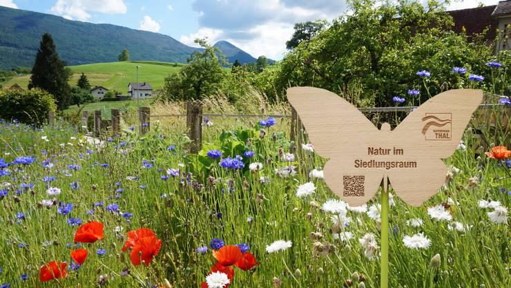 Die Laupersdörfer Gartenbesitzer sollen in den kommenden Jahren ihren Rasen zu blühenden Blumenwiesen machen. Dafür erhalten sie das Zertifikat «Natur im Siedlungsraum» des Naturparks Thal. Bilder: zvg
