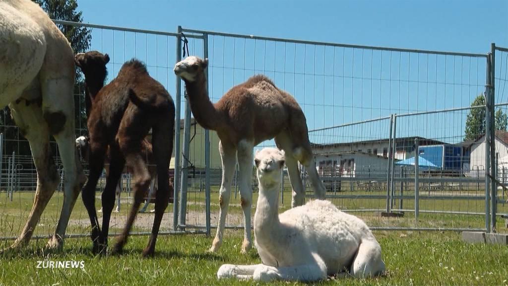 Vier Kamelbabys in Oberglatt geboren