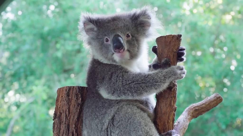 Gerettete Koalas haben sich erholt und sind wohlauf im Zoo