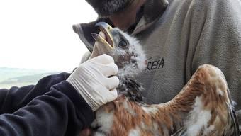 Geschwächter Jungvogel wird tiermedizinisch versorgt und dann wieder zurück in sein Nest gesetzt.