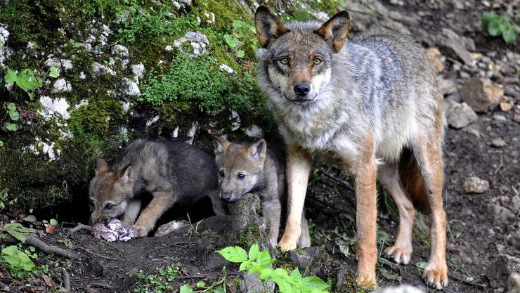 Eine Wolfsmutter mit ihren Jungen im Juraparc bei Vallorbe.
