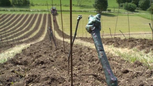 Berner Wein: Rebberg am Wyssloch-Hang