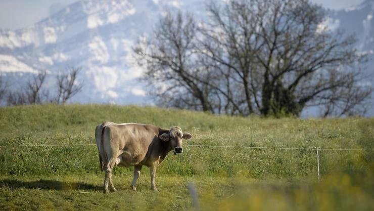 Eine Kuh weidet auf einer Wiese in Gretschins. In den Tiroler Alpen wurde eine Wanderin von einer Kuh tödlich verletzt. (KEYSTONE/Gian Ehrenzeller)