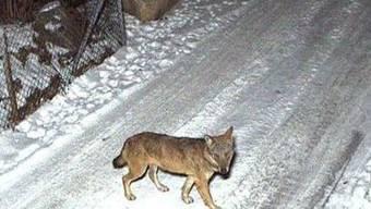 Dieser Wolf soll im Nordtessin 24 Schafe gerissen haben. Die Aufnahme stammt vom 25. Januar 2017 und wurde in Bodio gemacht.