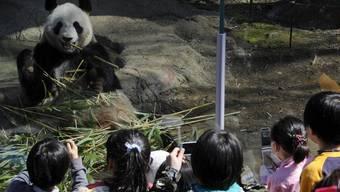 Attraktion im Ueno-Zoo in Tokio: Pandabär