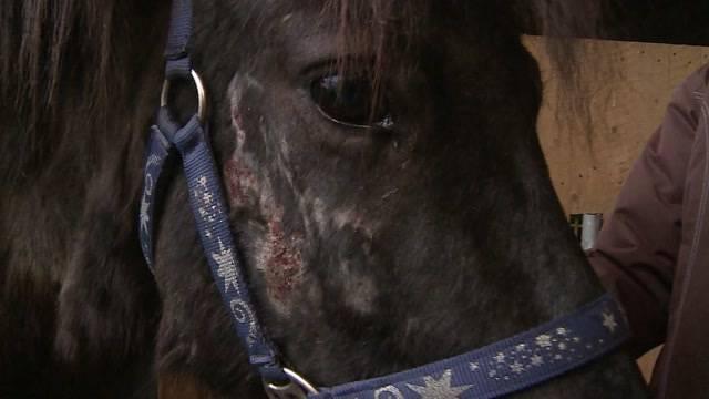 Aargauer Unternehmer lässt im Jura 33 Pferde verwahrlosen