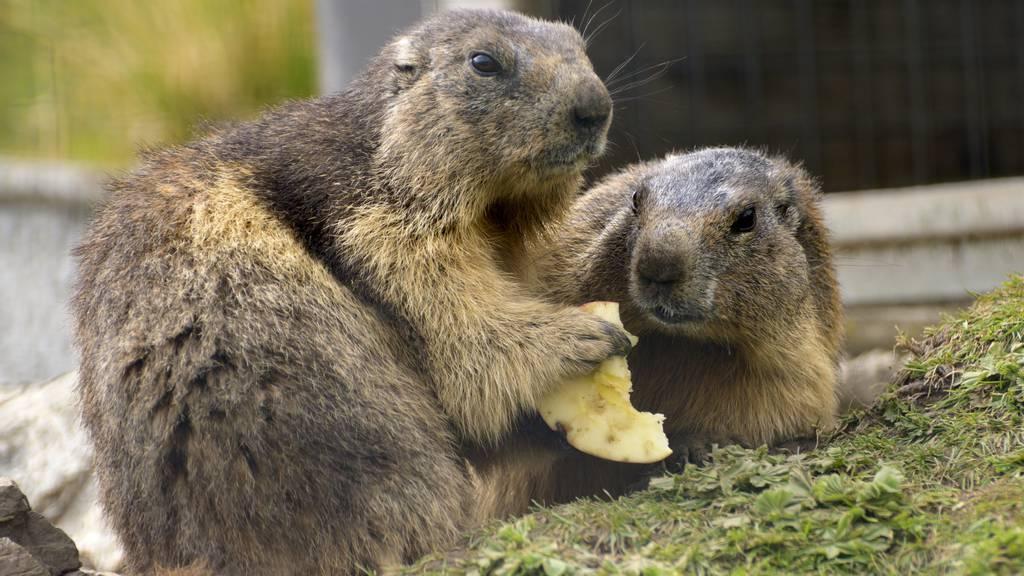 Murmeltiere essen einen Apfel