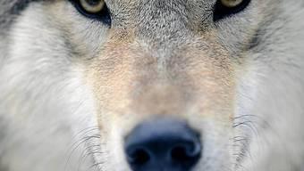 Wolf in einem Zoo (Archiv)