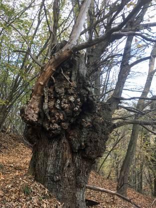 Alter Kastanienbaum im Spätherbst