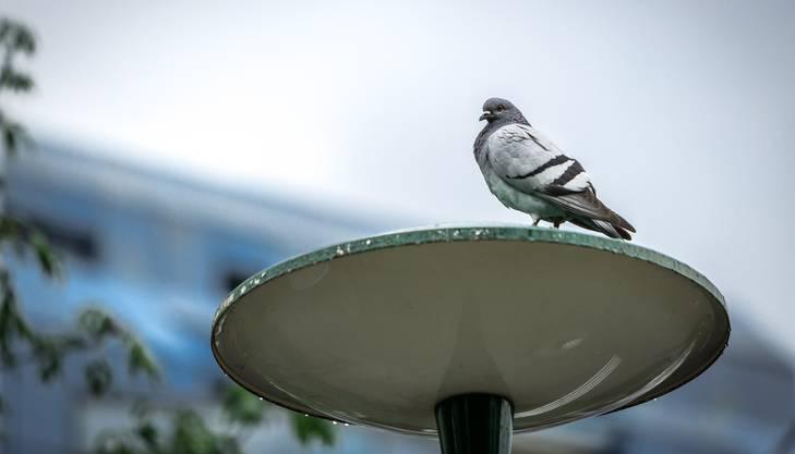 Eine Taube geniesst in Aarau die Aussicht - und nervt Passanten