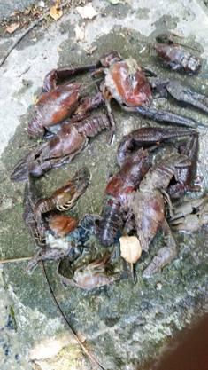 Das ist das erste Foto, das ein Fischer von den toten Krebsen gemacht hatte. Die Kantonspolizei entdeckte danach auf einer Länge von zwei Kilometern hunderte tote Krebse. Die Ermittlungen kommen voran.