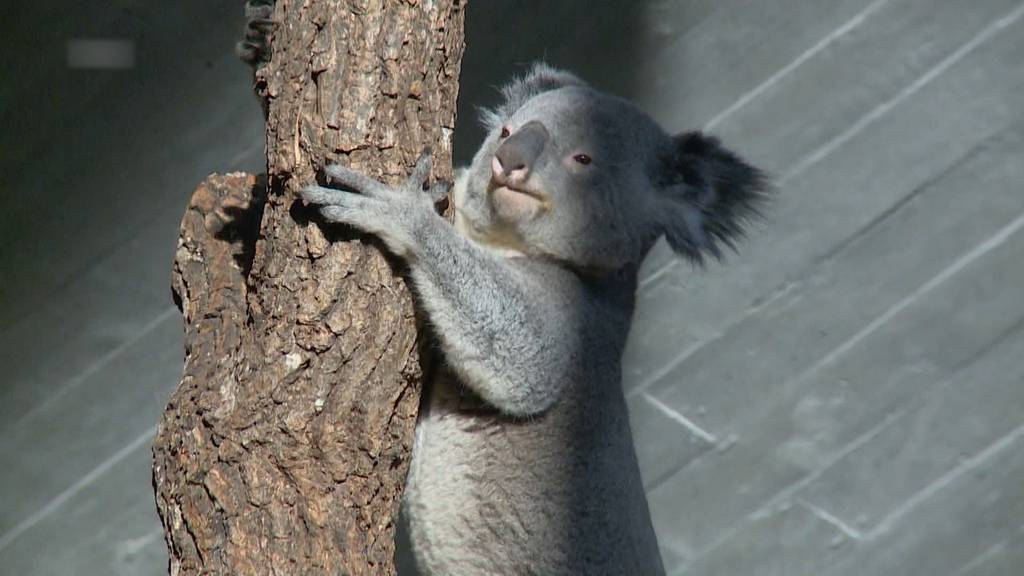 Koalaweibchen Pippa im Zoo Zürich gestorben
