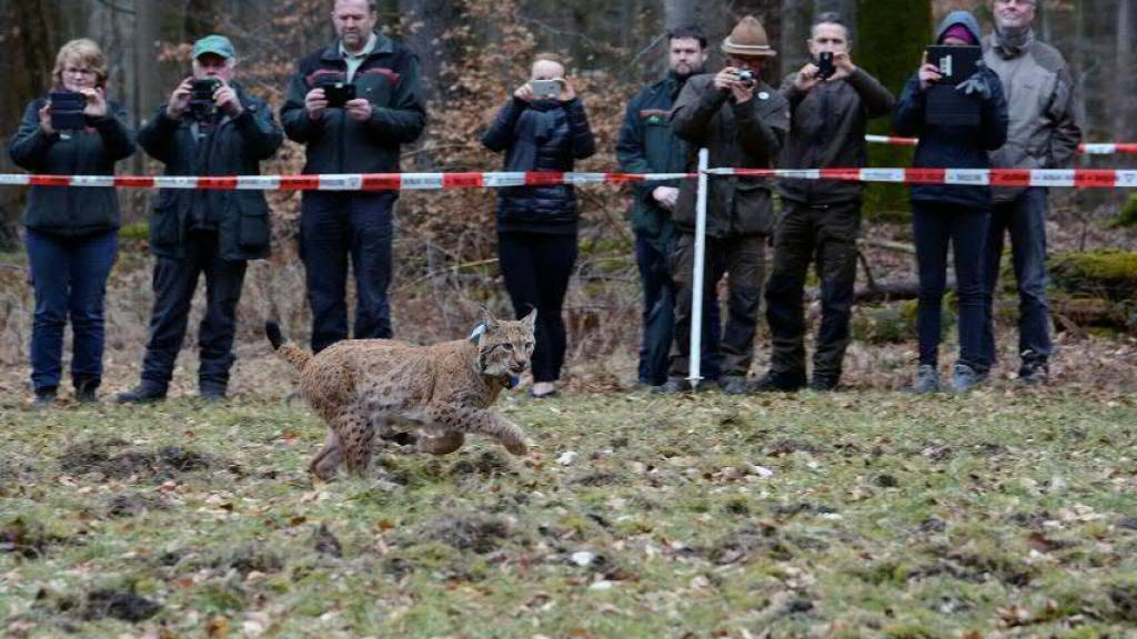 Der in der Waadt eingefangene Luchs Arcos wurde vor einer Woche in einem Reservat in Rheinland-Pfalz freigelassen. (Foto der Stiftung Natur und Umwelt Rheinland-Pfalz / Martin Greve)