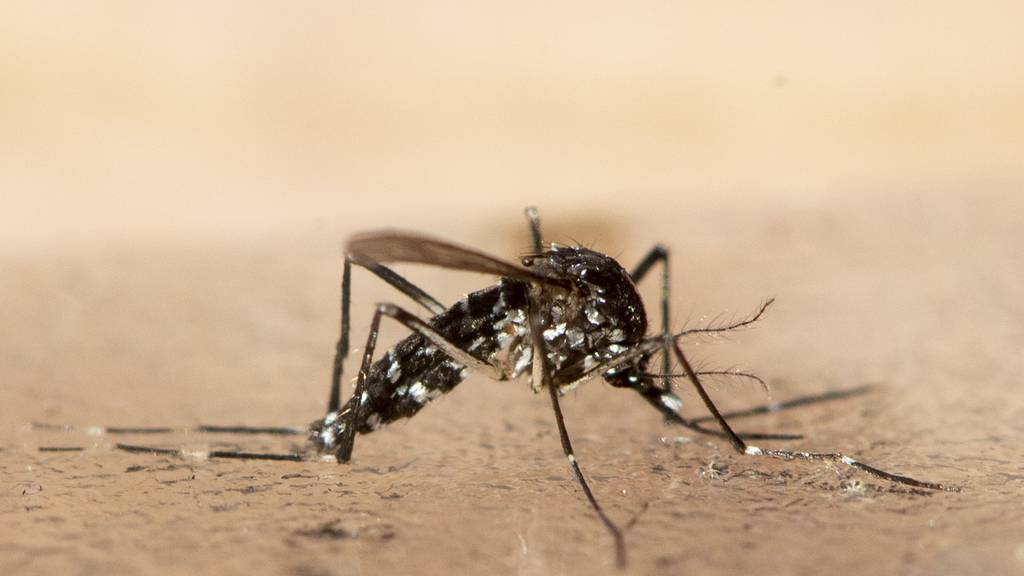 Tigermücken siedeln sich in Basel an – Bevölkerung soll bei der Bekämpfung helfen