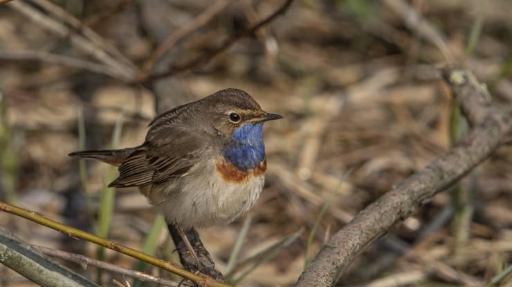 Blaukehlchen am Flachsee: Der Singvogel mit der gefärbten Kehle lässt sich hier gut beobachten.