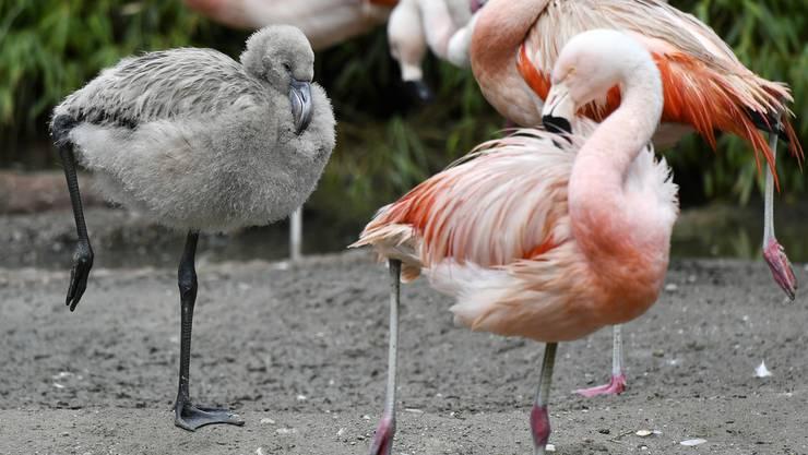 Es ist das erste Mal, seit die Flamingos in der 2012 eröffneten Anlage «Pantanal» brüten.