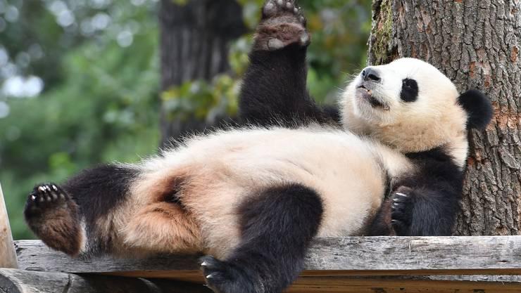 Der Berliner Zoo hat seit diesem Jahr Pandas – im Bild Panda-Dame Meng Meng.