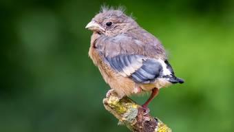 Der junge Gimpel ist noch nicht ganz selbständig, wird aber von seinen Eltern auch ausserhalb des Nestes betreut.