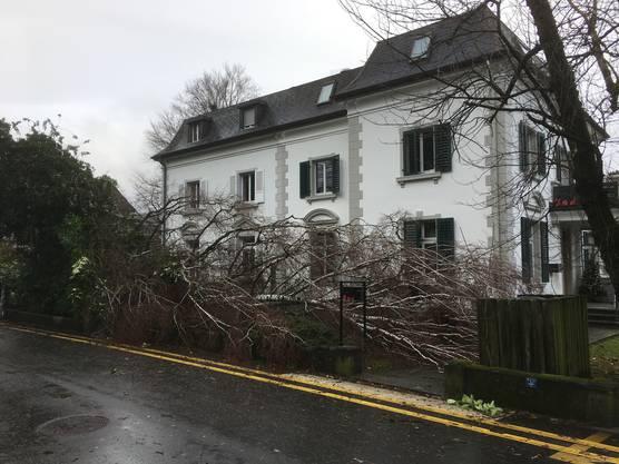 Glück im Unglück an der Bachstrasse in Aarau: Die Birke stürzte nicht auf die Strasse.
