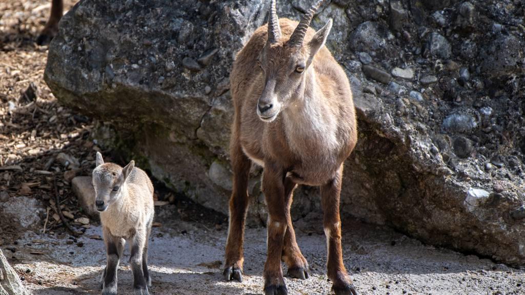 Im Tierpark kann man jetzt vier Steinbock-Kitze bestaunen