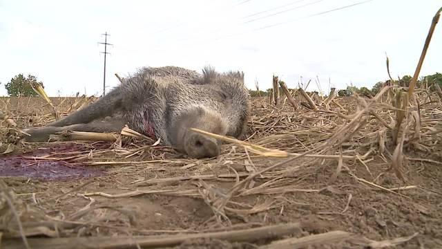 «Das ist ein Massaker»: Jagdaufseher Adrian Wendel ist bestürzt über die zu Tode gefahrene Wildschwein-Familie