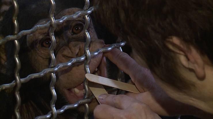 Mach mal «Aaah»: Tierarzt-Training im Walter Zoo.