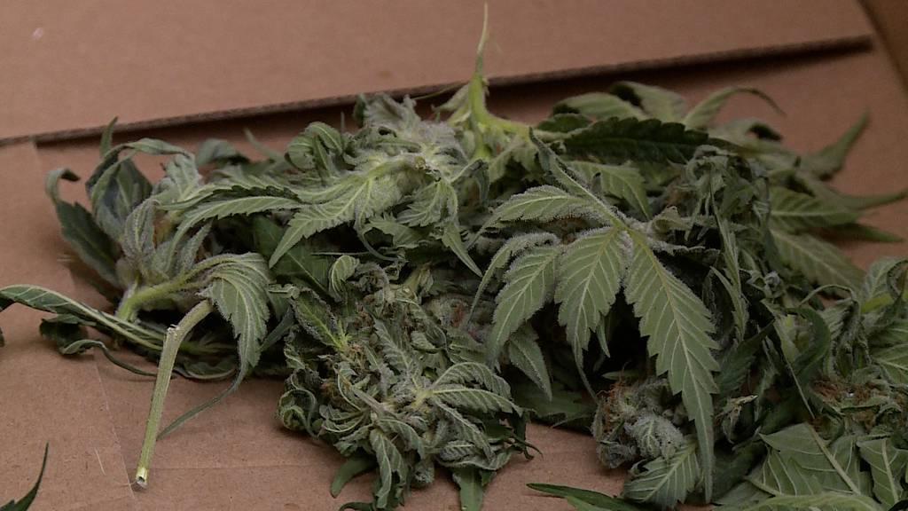 Kölliken: Polizei stösst auf eine mutmasslich illegale Hanfplantage