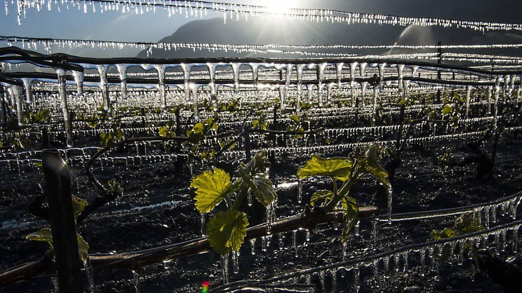 Die Kältewelle in den vergangenen Nächten hat in der Schweiz beträchtlichen Schaden in der Landwirtschaft angerichtet. (Archivbild)