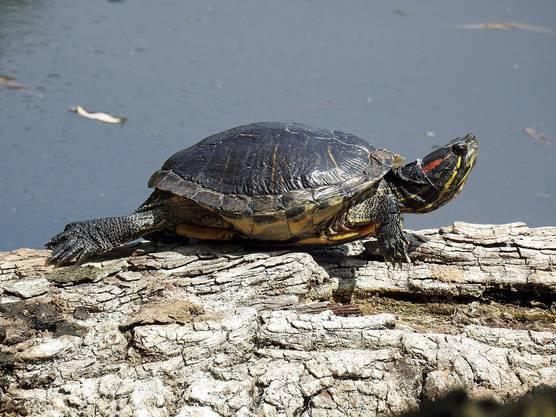 Rotwangen- Schildkröte: Im vergangenen Jahr wurde am Hallwilersee ein Exemplar eingefangen, das Eier legte.