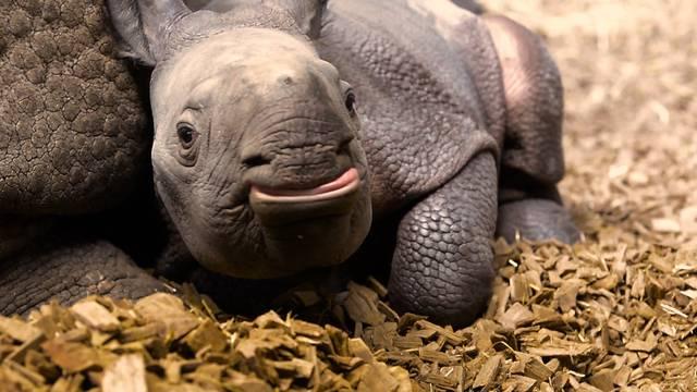 Tierische Helfer bei chronischen Wunden — Gefrässiges Panzernashorn-Baby im Zoo Basel