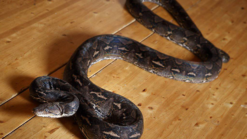 Um die Veruntreuung von umgerechnet 97'000 Franken zu vertuschen, hat eine nigerianische Buchhalterin eine geldfressende Schlange erfunden. (Symbolbild)