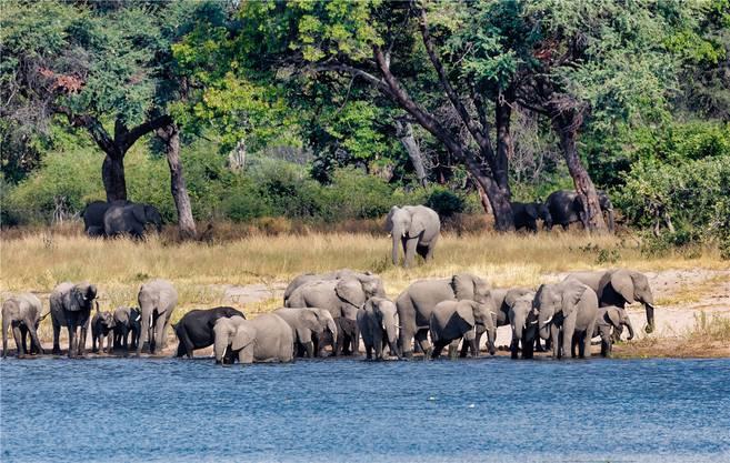 Ihnen gefällt es in Namibia: Innerhalb von zwei Jahrzehnten hat sich die Elefantenpopulation von 7500 auf 22'500 Tiere verdreifacht.