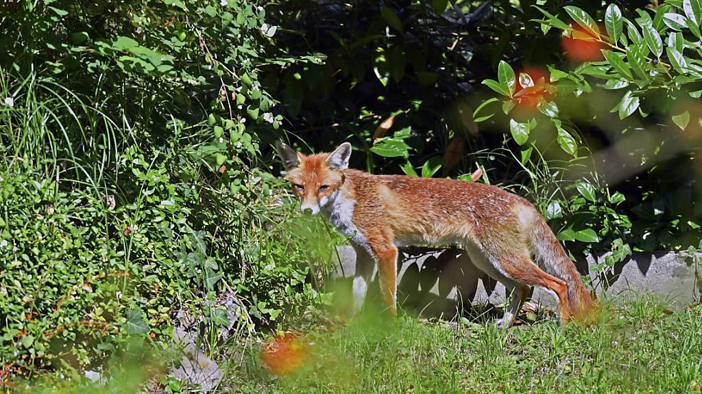 Füchse fressen bereits seit 40'000 Jahren Abfälle