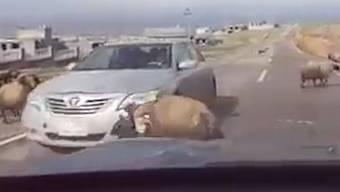 Auto gerät zwischen kämpfende Böcke