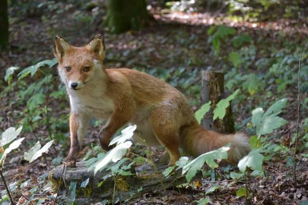 Ein ausgestopfter Fuchs scheint sich für die Ausführungen der Jäger auch zu interessieren.