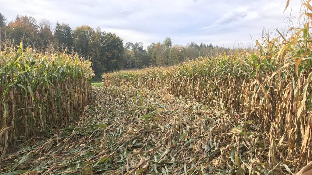 Blick auf das verwüstete Maisfeld in Lamperswil