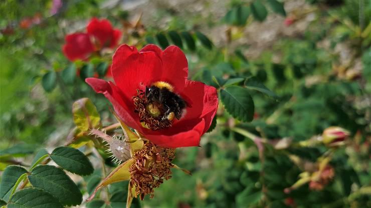 Himmlisch. Hummel in einer Wildrose auf Nahrungssuche. Foto im Naturgarten eingefangen.