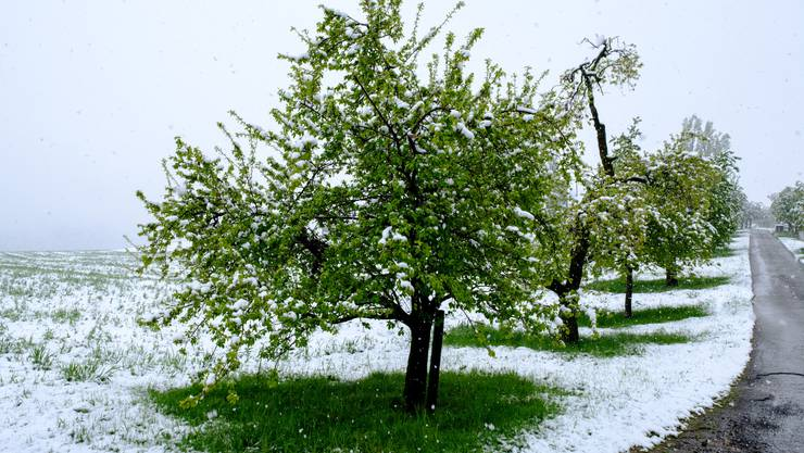Schaden Schnee und Frost den Obstplantagen?