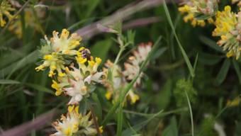 «Wenn es Wildbienen nicht mehr gibt, gibt es uns auch nicht mehr»: Hasan Candan, Ökologe bei der Stadt Bern, erklärt was jede und jeder für die Bienen machen könnte.