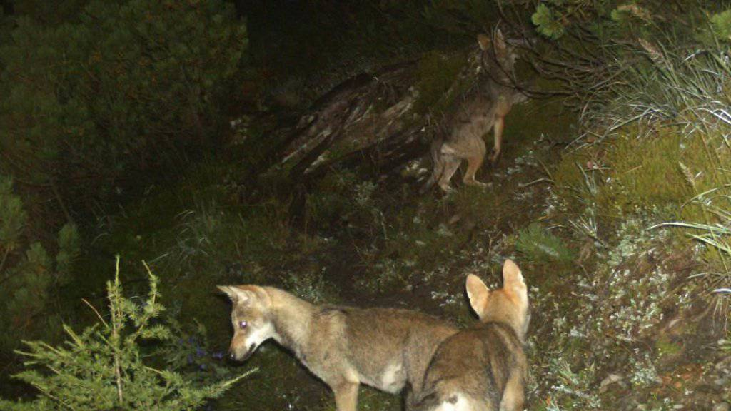 Eine Rudelbildung wie die auf dem Bild zu sehenden Jungwölfe des Calandarudels ist im Wallis nach wie vor möglich. Bei dem illegal geschossenen Wolf handelte es sich nämlich nicht wie befürchtet um einen des Wolfspaares, das gemeinsam unterwegs gewesen war. (Archivbild)