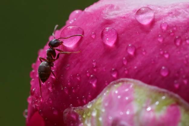 Wenn die kleine Ameise auf der Pfingstrose grossen Durst hat ...