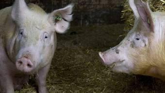Schweine in einem Schweizer Zuchtbetrieb (Symbolbild)