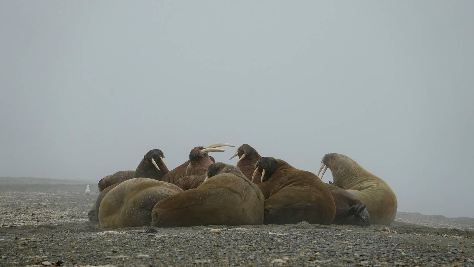 Bei einem Tagesausflug konnte ich die neugierigen Walrosse stundenlang beobachten. (© Virgin Radio Switzerland)