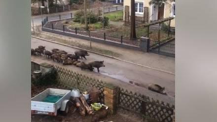 Die Wildschweinrotte in Berlin