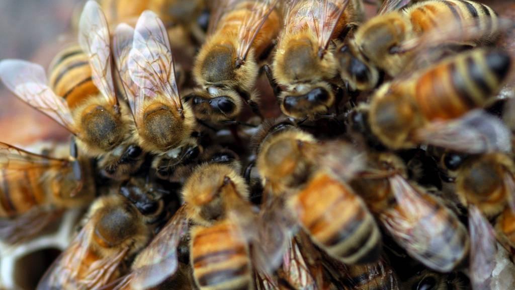 Der Frühling war kein Honigschlecken für Aargauer Bienen